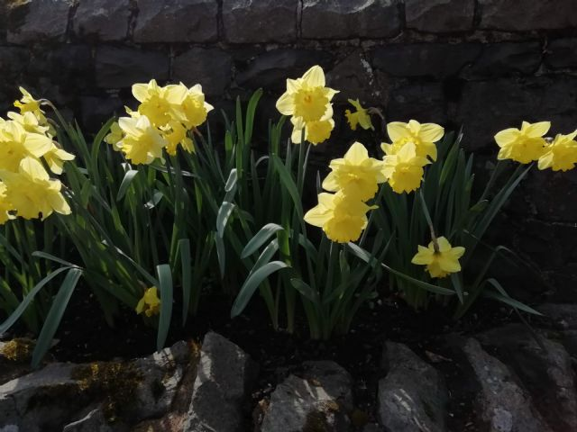 new daffs